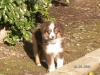 Miniature Australian Shepherd, 3 months, Red Tri
